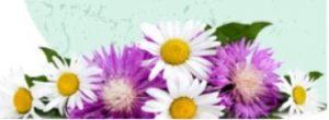 Echinacea kivonat