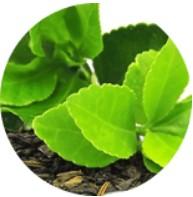 Zöld tea kivonata