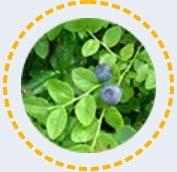 Fekete áfonya levele