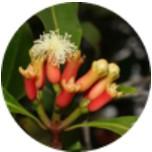 Syzygium aromaticum